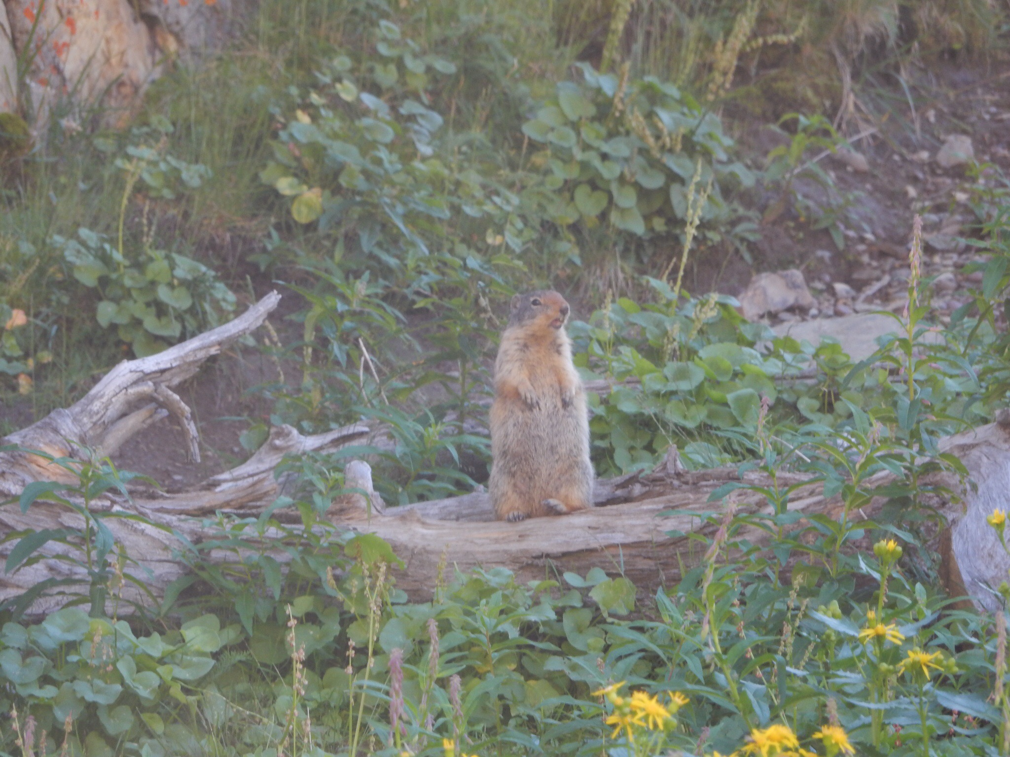 A pika takes offense to all the visitors at the Glacier NP visitor center.
