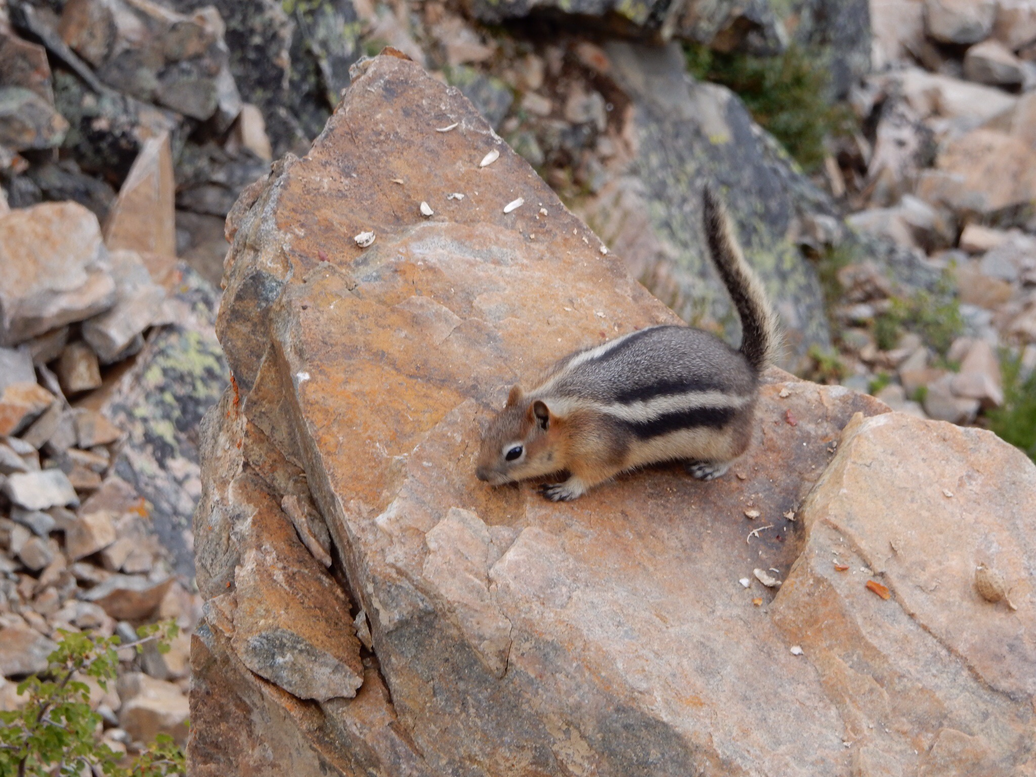 One of several fat chipmunks at the Beartooth Pass overlook.One of several fat chipmunks at the Beartooth Pass overlook.