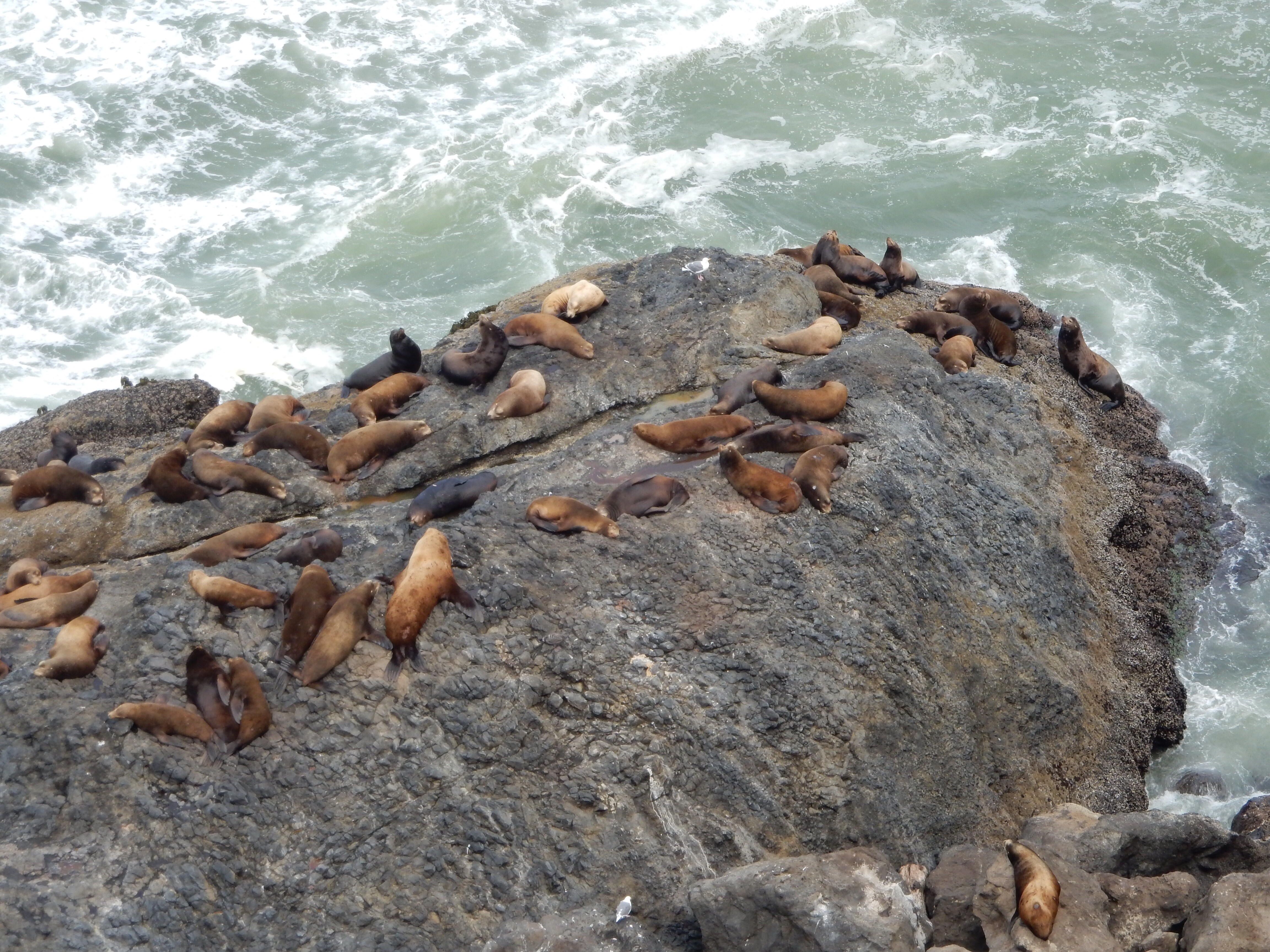 A closer look at the sea lions covering the coastal rocks south of Heceta Head Lighthouse State Park.