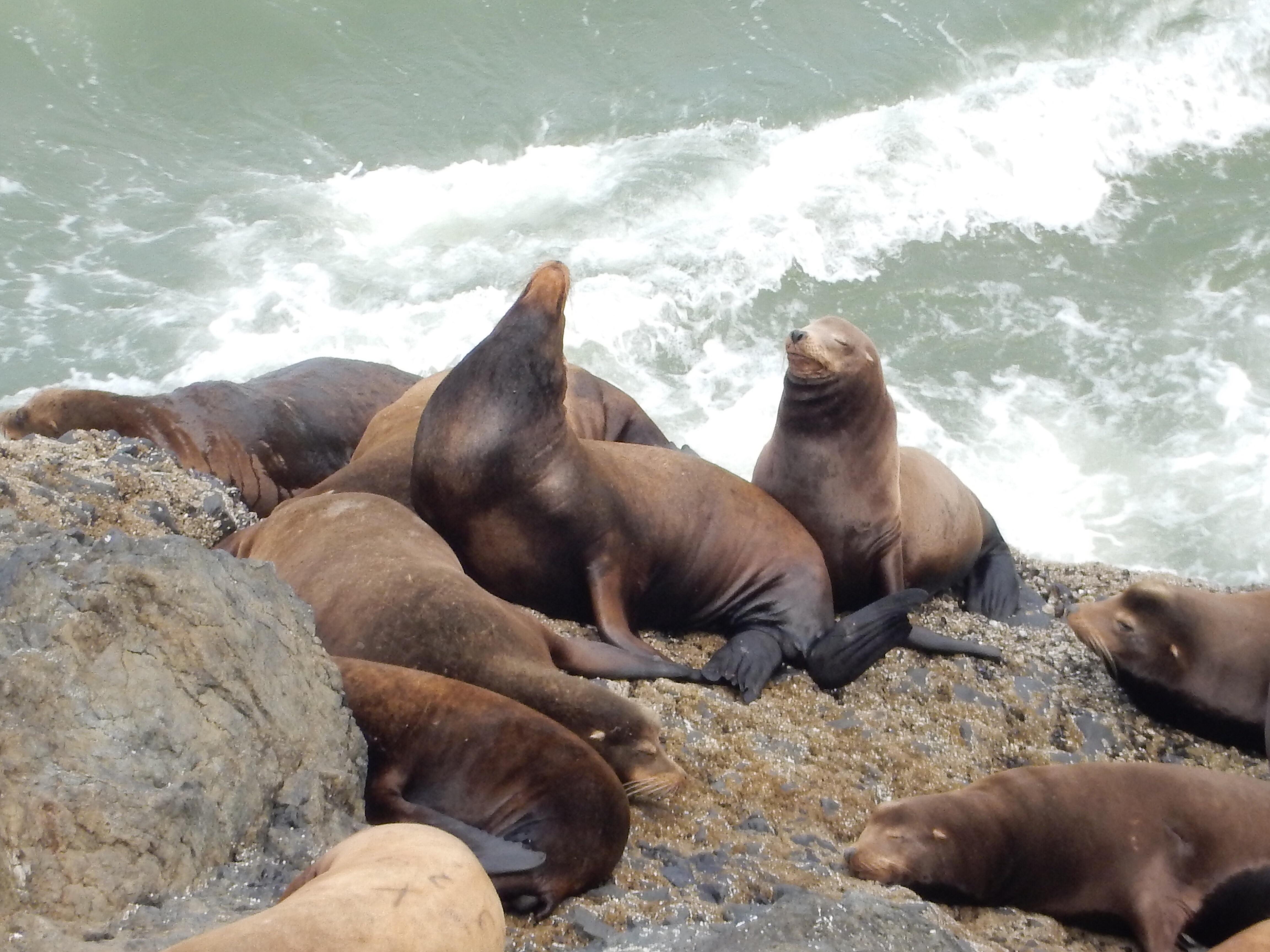 A closeup of sea lions on the coastal rocks south of Heceta Head Lighthouse State Park.