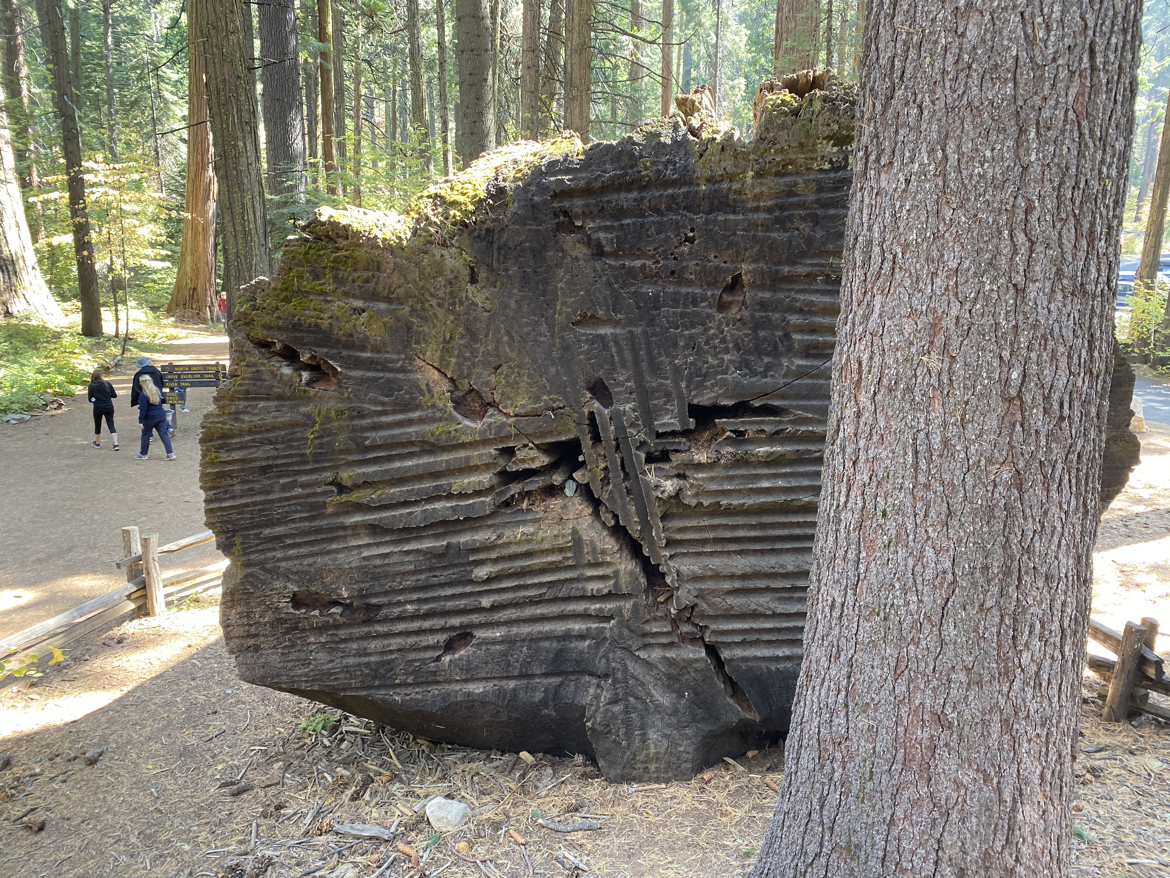 The trunk of a cut-down Sequoia.