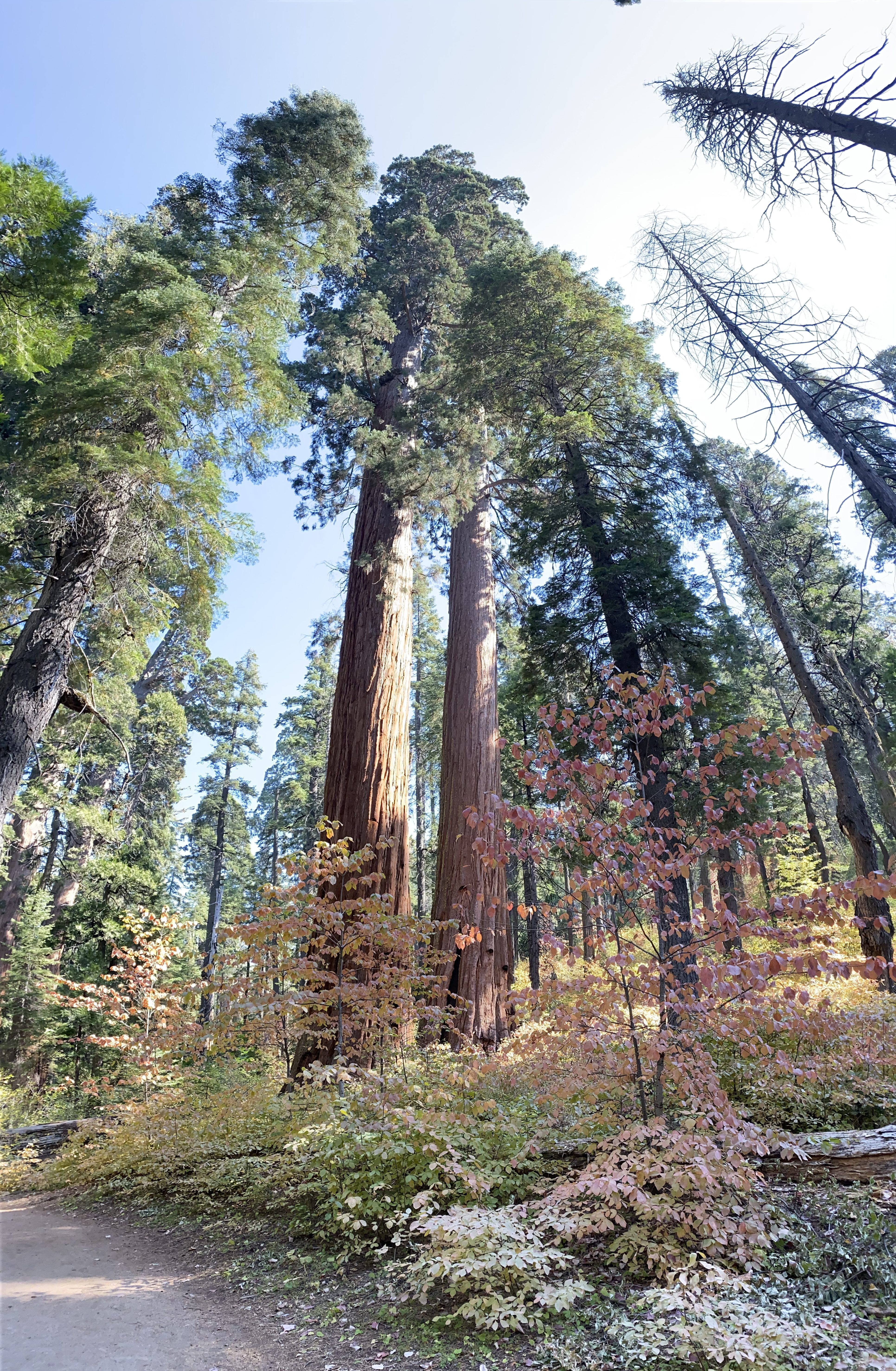 One of the huge Sequoias at Big Trees State Park.